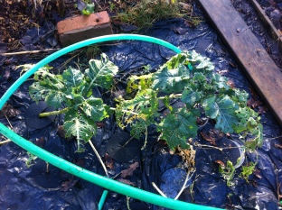 cabbages under the fleece