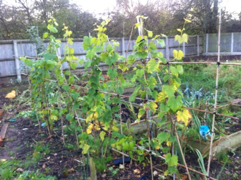 Grapevines on the plot