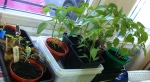 the larger chillies and baby tomatos