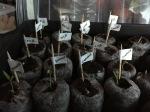 tiny delicate aubergine seedlings