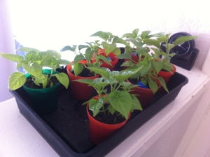 Habaneros ready to be potted up