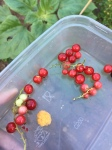 yellow raspberries and red currants