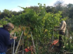 Securing the vines