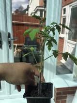 tomatoflowering