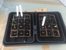 emerging cucumbers