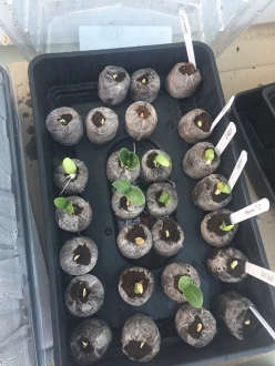 seedling squashes