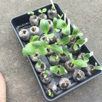 Squashes to be potted up