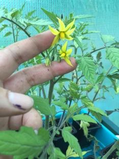 tomato flowers, already!