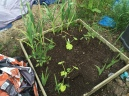 bed of many@ Courgettes, tomatoes and garlic