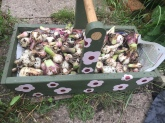 the floral trug and all of the garlic