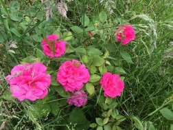 pink lost label rose