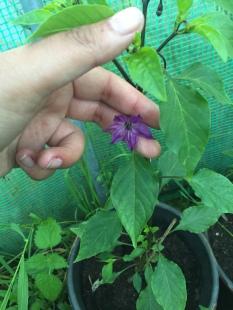 purplehazeflowerplant