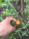 spotted: ripening tomatoe