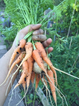 carrots...and a turnip